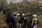 مستوطنون يقتلعون 13 شجرة زيتون من اراضي بلدة حارس