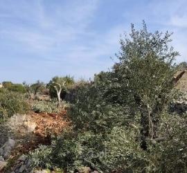 مستوطنون يهاجمون قاطفي الزيتون جنوب نابلس