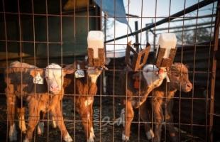 العمل الزراعي وحركة الفلاحين يطلقان نداءً بضرورة إنقاذ قطاع الثروة الحيوانية من الانهيار