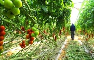 وكالة: فيروس إسرائيلي يصيب الطماطم في فرنسا لا علاج له