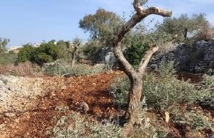 """محافظ سلفيت يستنكر اقدام مستوطنين على تقطيع أشجار زيتون في """"كفر الديك""""-صور"""