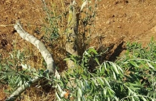 نابلس: مستوطنون يحطمون أكثر من 30 شجرة زيتون في جالود
