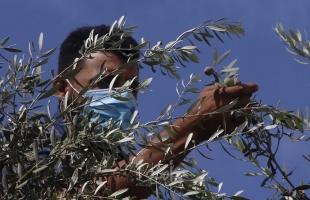 مستوطنون يسرقون معدات لقطف الزيتون من أراضي بورين جنوب نابلس