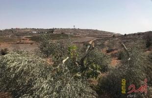 نابلس: مستوطنون يقتلعون 130 شتلة زيتون ويسرقونها