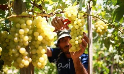 زراعة غزة تفتتح موسم العنب وتعلن التوسع بزراعته