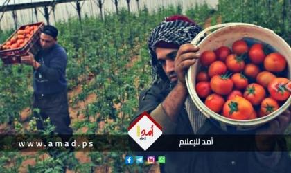 """زراعة غزة لـ""""أمد"""": سلطات الاحتلال تتعامل بمزاجية عدوانية لمنع تصدير  البندورة"""