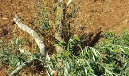 مستوطنون يقتلعون 70 شجرة زيتون في مسافر يطا