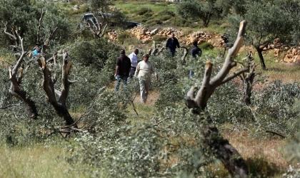"""نابلس: مستوطنون يقتلعون عشرات """"أشجار الزيتون"""" ويشقون طريقاً استيطانية"""